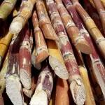 1200px-Cut_sugarcane