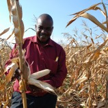 "Isaka Mashauri, managing director of Tanzanian seed company Tanseed International, inspects a crop of improved, drought tolerant maize variety TAN 250 in a farmer's field in Morogoro, Tanzania, in an area that was heavily impacted by drought in the 2008 season when the photo was taken. This variety has been able to give a good yield, showing large and healthy ears.  TAN 250 is one of two improved, drought tolerant varieties recently developed and registered for sale in Tanzania through CIMMYT's Drought Tolerant Maize for Africa (DTMA) project, representing years of fruitful collaboration between CIMMYT and Tanseed. TAN 250 and TAN 254 are based on ZM 401 and ZM 721, varieties selected for tolerance to drought and low soil fertility conditions by CIMMYT at Chiredzi, Zimbabwe, and also contain material from CIMMYT-Mexico and from Tanzania.  For more about the collaboration between Tanseed and CIMMYT, see CIMMYT's June 2009 e-news story ""No maize, no life!"" available online at: http://www.cimmyt.org/en/about-us/media-resources/newsletter/previous-issues/38-2009/119-genetic-resources-program.  For more about DTMA see: http://dtma.cimmyt.org.  Photo credit: Anne Wangalachi/CIMMYT."