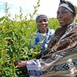 maize legume intercrop