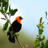 Red Bishop in Tanzania.