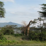 GiraffeKrista