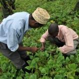 inspecting bean plants in uganda for pests