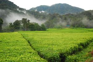TeaPlantation smaller
