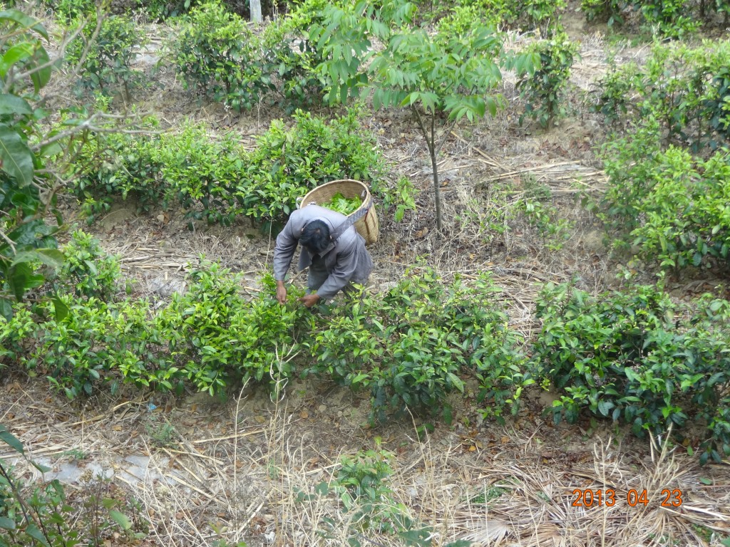 Tea picker works on a plantation in Yunnan Province. Conversion of natural forests to 'economic' forests have resulted in severe impacts on soil stability and local hydrology. Photo provided by Prof. Yuan Wei, Tea Research Institute of Yunnan Academy of Agricultural Sciences.